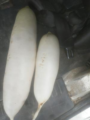 广西壮族自治区柳州市柳北区白萝卜 2.5~3斤
