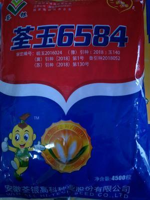 河南省商丘市民权县荃玉6584 三交种 ≥95%