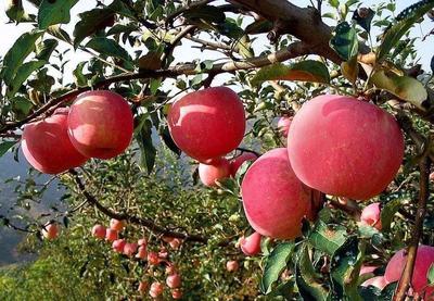 陕西省西安市雁塔区阿克苏冰糖心苹果 70mm以上 片红 光果