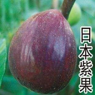 日本紫果无花果苗