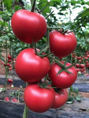 陕西省渭南市华县普罗旺斯番茄 精品 弧三以上 大红
