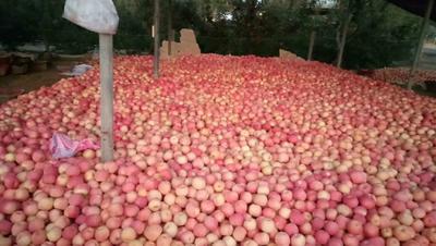 新疆维吾尔自治区阿克苏地区温宿县阿克苏冰糖心苹果 75mm以上 条红 光果