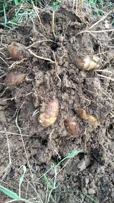 江西省上饶市万年县红芽芋  2cm以上 芋种可以联系我