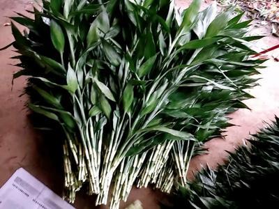富贵竹 中竹0.4