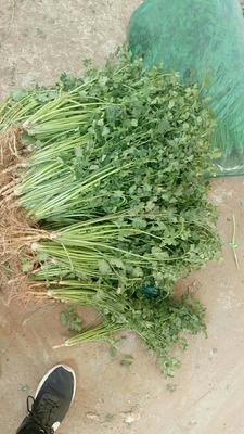 山东省临沂市沂水县小叶香菜 25~30cm