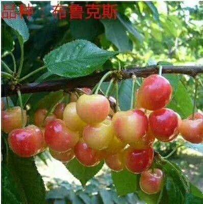 基地现挖现发保证品种大樱桃苗保湿发货包成活率