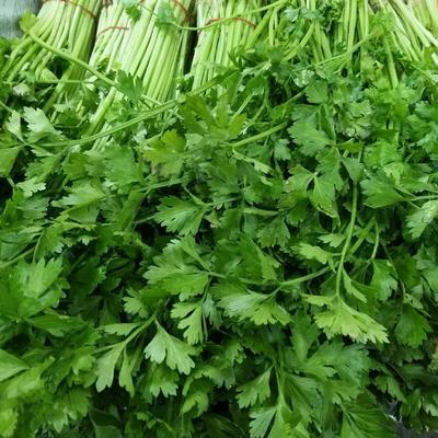 浙江省杭州市余杭区香芹 45~50cm 0.5斤以下 大棚种植