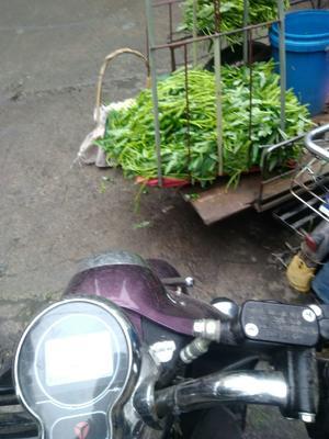 广西壮族自治区玉林市博白县博白空心菜 30 ~ 35cm