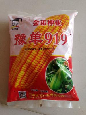 河南省安阳市滑县豫单919玉米种子 双交种 ≥90%