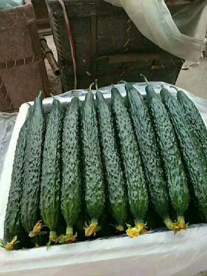 山东省临沂市沂水县刺黄瓜 25~35cm