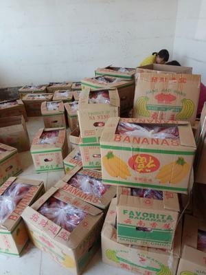 河北省邯郸市肥乡县硬粉番茄 通货 弧三以上 硬粉