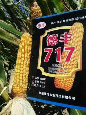 甘肃省白银市靖远县德丰717 单交种 ≥90%