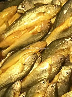 广东省广州市番禺区大黄鱼 人工殖养 0.5公斤以下