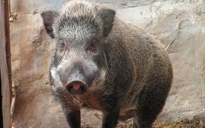 广西壮族自治区梧州市长洲区生态野猪 母 20-30斤