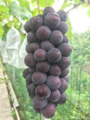 江苏省苏州市姑苏区夏黑葡萄 0.8-1斤 5%以下 2次果