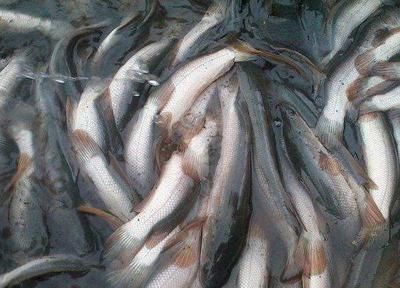 四川省内江市东兴区白乌鳢 人工养殖 2.5-3公斤