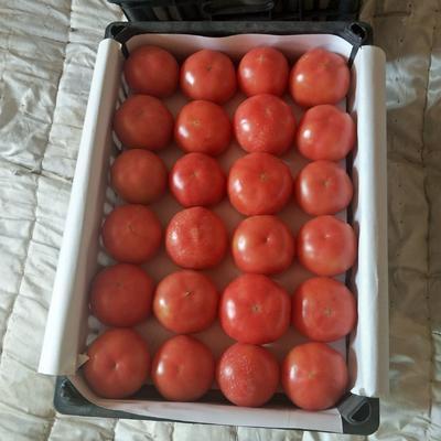 内蒙古自治区赤峰市松山区硬粉番茄 精品 弧三以上 硬粉