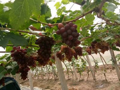 河北省唐山市乐亭县黑芭拉多葡萄 1-1.5斤 5%以下 1次果