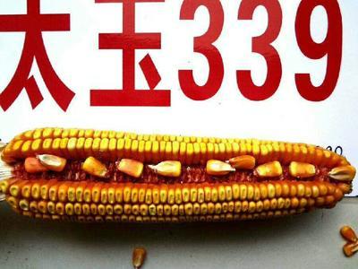 甘肃省张掖市山丹县太玉339玉米种子 自交系 ≥95%