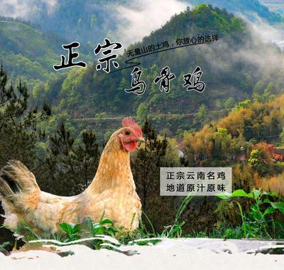 云南省大理白族自治州南涧彝族自治县无量山乌骨鸡 4-5斤