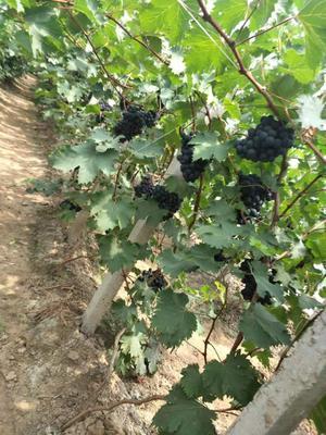 河北省唐山市乐亭县玫瑰香葡萄 1-1.5斤 5%以下 1次果