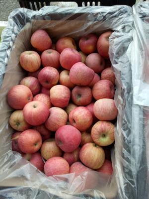 湖南省常德市武陵区洛川苹果 60mm以上 全红 纸袋