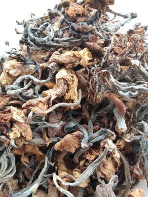 湖南省娄底市双峰县松菇  散装 1年 野生茶树菇