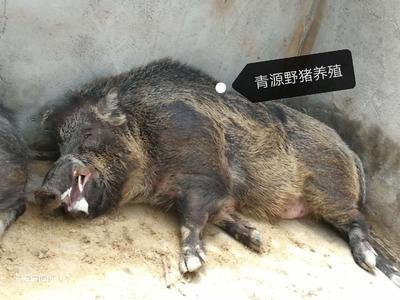 青海省海东市互助土族自治县特种野猪 统货 30-40斤