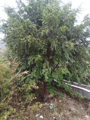 江苏省镇江市扬中市南方红豆杉 5米以上