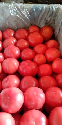 陕西省咸阳市泾阳县普罗旺斯番茄 精品 弧二以上 大红