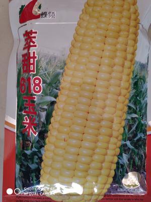 江苏省宿迁市沭阳县绿领萃甜618玉米种 单交种 ≥85%