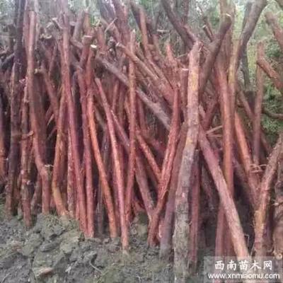 四川省巴中市南江县木香花  山木香嫁接玫瑰,月季