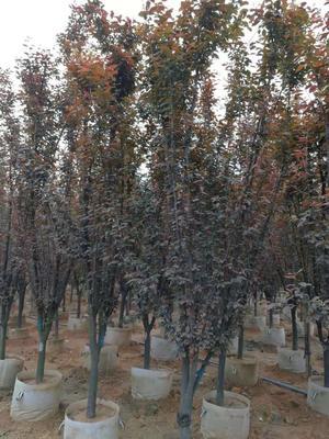 福建省漳州市龙海市红叶李 移栽苗地径5公分