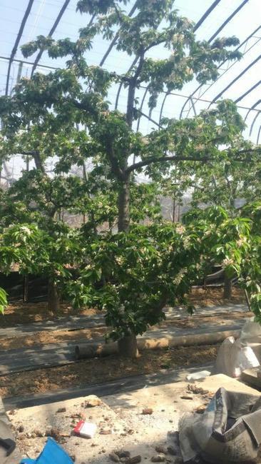 红灯樱桃 15-20mm 8-12g