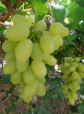 河北省唐山市乐亭县维多利亚葡萄 0.8-1斤 5%以下 1次果