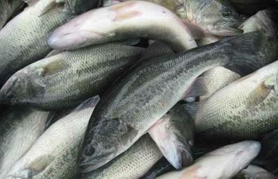重庆潼南县加州鲈鱼 人工养殖 1-1.5公斤
