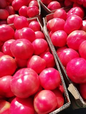 河南省安阳市滑县硬粉番茄 通货 弧三以上 硬粉