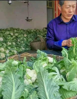 陕西省汉中市城固县白花菜花 紧密 2~3斤