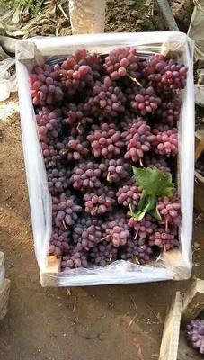 河北省唐山市乐亭县茉莉香葡萄 0.6-0.8斤 5%以下 1次果