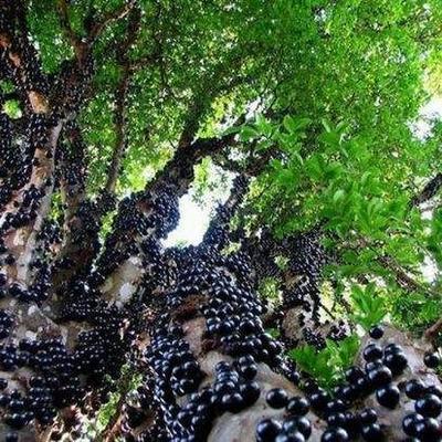 树葡萄苗 嘉宝果苗,大小规格都有