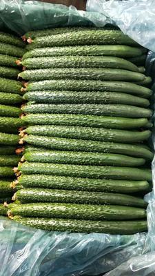 内蒙古自治区赤峰市松山区油亮密刺黄瓜 25~35cm