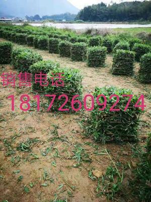 广西壮族自治区南宁市宾阳县大叶油草