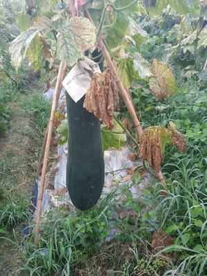 海南省儋州市儋州市吊冬瓜 20~30斤 吊冬瓜