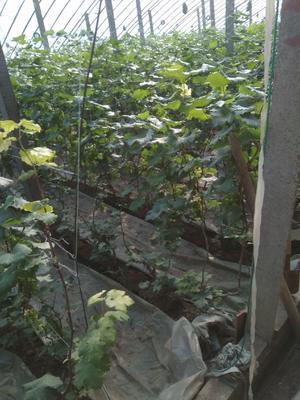 山东省潍坊市寿光市香妃葡萄 0.8-1斤 5%以下 1次果