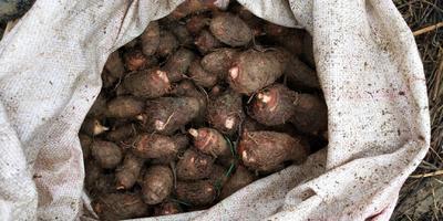 贵州省铜仁市印江土家族苗族自治县芋头种子 2cm以上