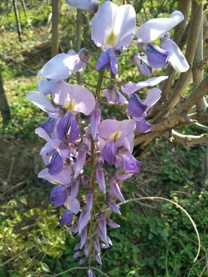 山东省泰安市岱岳区多花紫藤 0.5~1米 2~3公分
