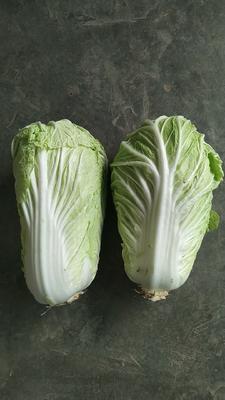 陕西省宝鸡市眉县青杂三号白菜 3~6斤 二毛菜