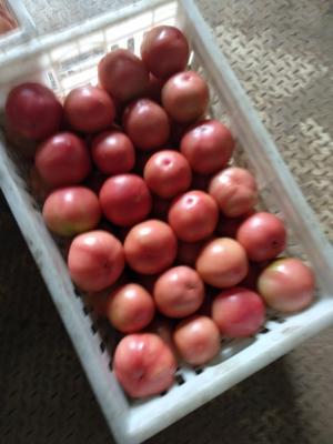 河南省新乡市辉县市硬粉番茄 精品 弧二以上 硬粉