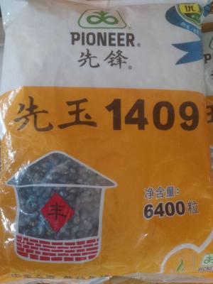 黑龙江省绥化市海伦市甜糯玉米种子 常规种 ≥90%