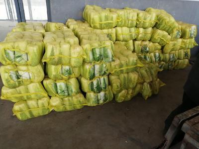 山东省泰安市肥城市北京3号大白菜 3~6斤 二毛菜